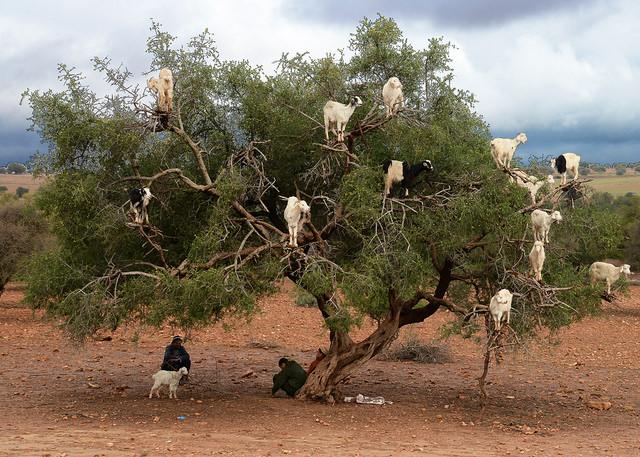 козы пасутся фото